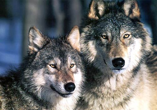 Image result for Diminish wolf