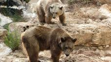 Un-bear-able: Latest bear escape triggers debate in Armenia on keeping wild animals outside zoos