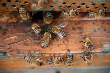 Keeping the bees: Specialists in Armenia alarmed by shrinking bee population
