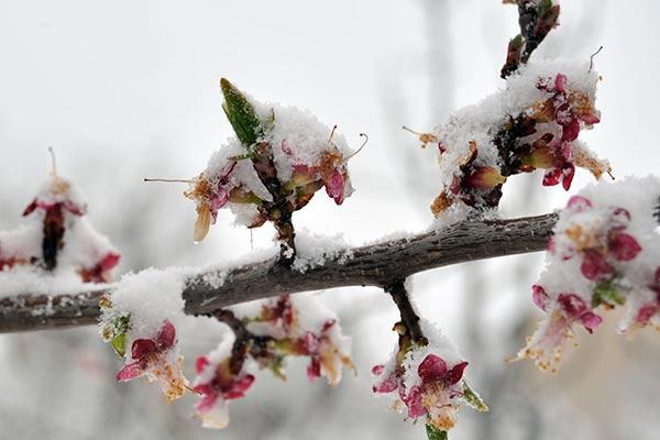 Frostbitten: Late March snowfall, freezing temperatures hit Armenian farmers hard
