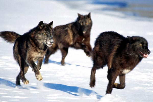 Howling Controversy: Wolf-hunting draws protest as ministry forms bounty committee